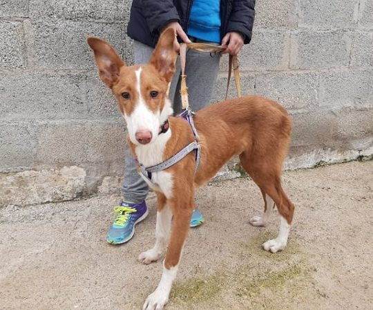 Dundee (podenco) (M)